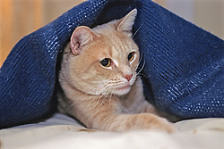 Cat With Blanket Covering Body