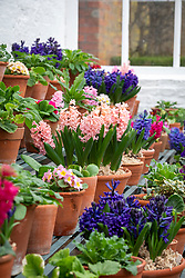 Hyacinth, primula and cyclamen display at West Dean with Hyacinthus orientalis 'Anna Marie' in the centre