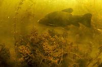 Tench (Tinca tinca)<br /> In peat pond, Fribourg, Switzerland<br /> Schleie (Tinca tinca)<br /> In Torfmoor, Freiburg, Schweiz<br /> Tanche (Tinca tinca)<br /> Dans Tourbière, Fribourg, Suisse<br /> 29-05-2009