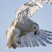 Snowy owl (Bubo scandiacus).adult in flight with a shorebird in its mouth. Barrow, Alaska.
