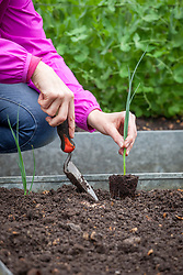 Planting out young Leek 'Longbow' in the vegetable garden. Allium porrum