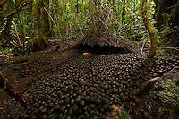 Bower of a Vogelkopf Bowerbird (Amblyornis inornatus) decorated primarily with a huge spread of acorns, plus a small pile of orange fruits.