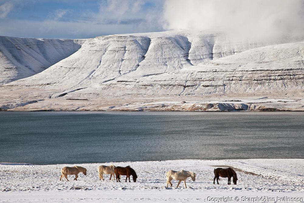 Horses in Hvalfjörður, south-west Iceland