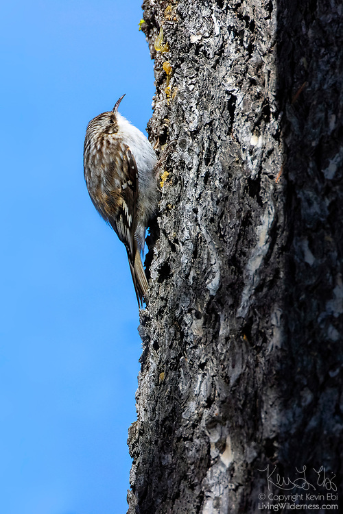 A brown creeper (Certhia americana) climbs a tree, hunting for insects on the bark in Yellowstone National Park, Wyoming.
