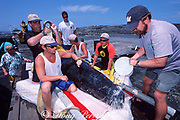 baby sperm whale is cared for by veterinarian Greg Timmel & Dolphin Quest employees during transport to rehabilitation tank at fish farm after stranding, Kona, Hawaii, USA