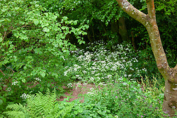 Cow parsley growing in the woodland garden at Glebe Cottage. Anthriscus sylvestris