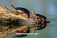 02511-00307 Painted Turtles (Chrysemys picta) on log in wetland, Marion Co.  IL