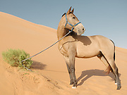 An Arabian Horse in the Liwa desert near the luxurious Qasr Al Sarab resort. Set in the middle of the Rub' al Khali or Empty Quarter, the largest uninterrupted sand mass in the world, Qasr Al Sarab Desert Resort by Anantara is isolated from the outside world, but only 200km away from Abu Dhabi.