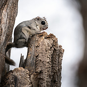 This is a Japanese dwarf flying squirrel (Pteromys volans orii) that has found a comfortable place to perch on an overcast day after emerging from its nest. These animals line the inside of their nests with soft materials for comfort and warmth. Some of this nest lining is visible on this squirrel's head.