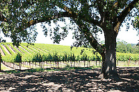 2013 May 13:  Williams Selyem Winery in Sonoma County's Russian River Valley.  Pinot Noir grape vines in summer sunlight through large oak trees in Healdsburg, California.