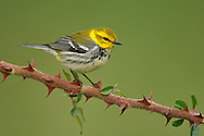 Black-throated Green Warbler - Setophaga virens - Adult female breeding
