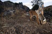 Iberian Lynx Male (Lynx pardinus) Sierra de Andujar Natural Park. Sierra Morena. Andalucia. SPAIN