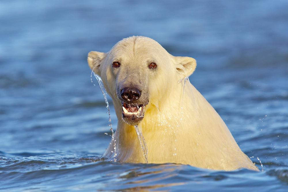 USA, Alaska, Arctic National Wildlife Refuge, A polar bear playing in the ocean