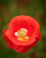 Red or Oriental Poppy flower. Image taken with a Nikon Df camera and 70-300 mm lens