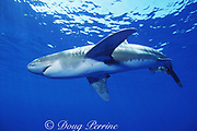 oceanic whitetip shark, Carcharhinus longimanus, off the Kona Coast of Hawaii Island ( the Big Island ), Hawaiian Islands, U.S.A. ( Central Pacific Ocean )