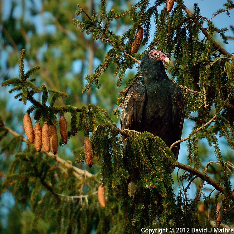 Turkey Vulture in a Tree Waiting to Warm in the Morning Sun. Image taken with a Nikon 1 V2 FT1 adapter and 70-200 mm f/2.8 VRII lens (ISO 160, 200 mm, f/2.8, 1/1600 sec).
