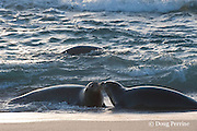 Hawaiian monk seals, Monachus schauinslandi, greeting each other in surf at sunset, Critically Endangered endemic species, west end of Molokai, Hawaii ( Central Pacific Ocean )