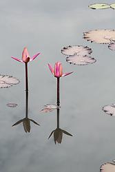 Water Lily, magenta #2vert