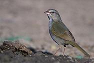 Olive Sparrow - Arremonops rufivirgatus