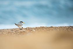 Little tern Sternula albifrons, adult resting on beach, Winterton-on-Sea, Norfolk, July