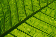 One of the huge rainforest leaves of a Giant Elephant's Ear, Alocasia odora, seen from below,  Yangmingshan National Park, Taipei, Taiwan