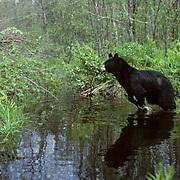 Black Bear, (Ursus americanus) Minnesota, Heavy rain floods bear trail. Bear jumps over water to dry ground. Spring.