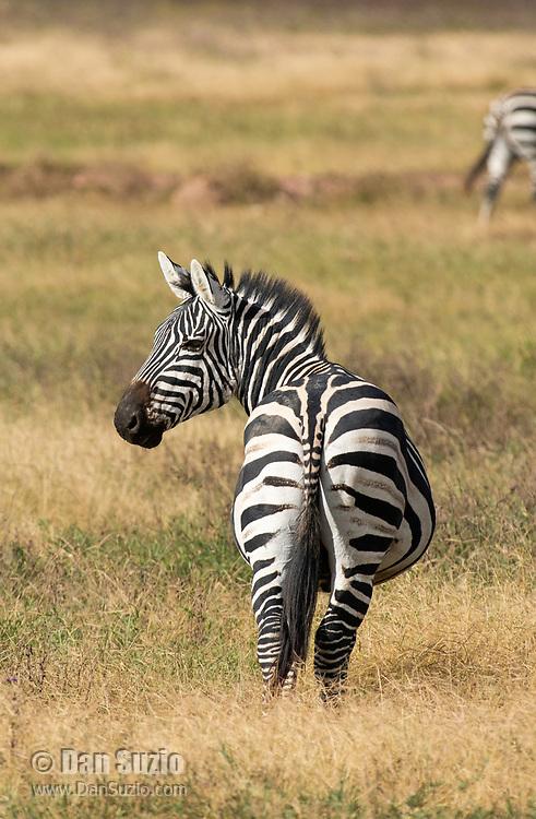 Grant's Zebras, Equus quagga boehmi, in Ngorongoro Crater, Ngorongoro Conservation Area, Tanzania