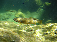 Westslope Cutthroat Trout<br /> <br /> Todd Pearsons/Engbretson Underwater Photography