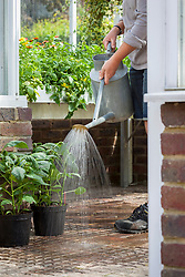 Keeping up humidity levels in a greenhouse by damping down the floor with a watering can