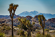 Snowy peaks in the San Bernardino Mountains seen above Joshua trees along the Echo T Trail to Barker Dam Loop in Joshua Tree National Park, near Twentynine Palms, California, USA. The park straddles the cactus-dotted Colorado Desert and the Mojave Desert, which is higher and cooler.