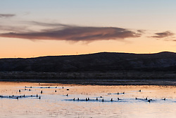 Ducks dunking on pond at dusk, Bosque del Apache, National Wildlife Refuge, New Mexico, USA.