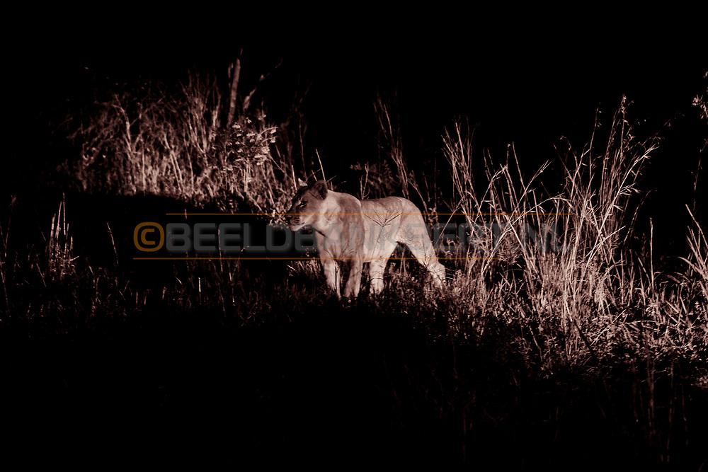 12-02-2016 -  Foto safari: Dinokeng Game Reserve: leeuwin in de nacht op jacht. Genomen tijdens Safari bij Mongena Game Lodge in Dinokeng Game Reserve in Hammanskraal, Zuid-Afrika.