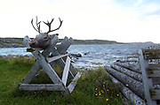 Fogo is home to about 300 caribou, though they are not indigenous to the island. The herd of about 300 animals are controlled through a limited annual hunt.