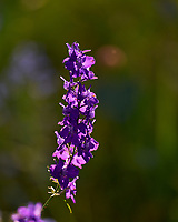 Larkspur (Delphinium). Image taken with a Leica SL2 camera and 90-280 mm lens
