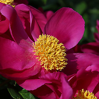 """""""Dusted in Peony Pollen""""<br /> <br /> Gorgeous large dark pink peonies with a big golden center!"""