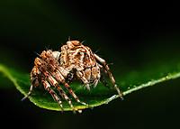 Hamataliwa helia.  Lynx spider.  Photographed in Lady Lake, Florida USA