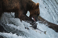 Bear 503, a brown bear in Alaska's Katmai National Park, attempts to catch a fish on Brooks Falls along the Brooks River.