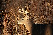 Whitetail buck in brushy cover