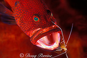 tomato grouper, tomato hind, tomato seabass, or tomato cod, Cephalopholis sonnerati, being cleaned by humpback cleaner shrimp, Lysmata amboinensis, Bali, Indonesia