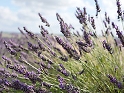 Lavender Grosso growing at Yorkshire Lavender on 9th August 2017 in Howardian Hills AONB, United Kingdom. Yorkshire Lavender is a family-run lavender farm, gardens and specialist plant nursery within the Howardian Hills Area of Outstanding Natural Beauty. They sell their own lavender products made using the oil distilled from the lavender grown on the farm.