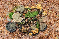 Platte tonderzwam, Ganoderma applanatum