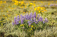 Lupine is one of North Americas most variable types of wildflowers, many species found in almost any kind of habitat that North America offers. These silvery lupines are blooming in Yellowstone National Park in Northwestern Wyoming. Very common in most of the western half of the continent in higher elevations, they are also very toxic to livestock.