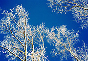 Skeletal tree branches coated in snow and ice against a rich blue sky