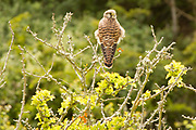 Kestrel perched above the gully at Durlston. Dorset, UK.