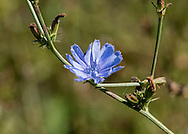 The blue blossom of common chicory