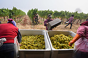 Vineyard workers harvest chardonnay grapes on a foggy September morning at Square Peg Winery in West Sonoma County, California