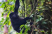 A female non-habituated mountain gorilla (Gorilla beringei beringei) climbing a tree, ,Bwindi Impenetrable Forest, Uganda, Africa