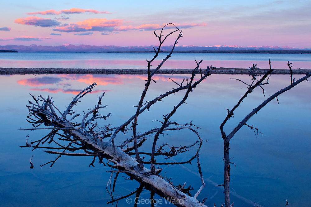 Lodgepole Pine Snag in Lakeside Pool on Yellowstone Lake at Sunset, Yellowstone National Park, Wyoming