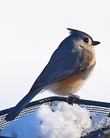 Tufted Titmouse. Image taken with a Nikon D5 camera and 600 mm f/4 VRII lens