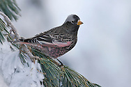 Black Rosy-finch - Leucosticte atrata - male non-breeding